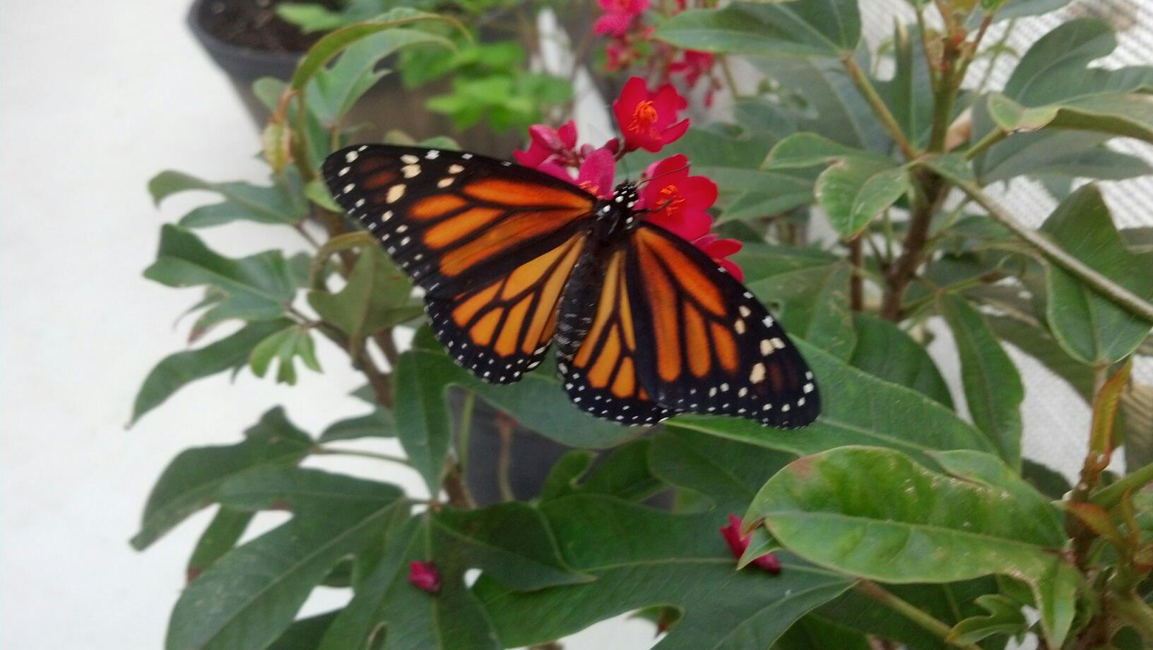 Watching the Monarch Butterflies take their first flight was an amazing site to see.
